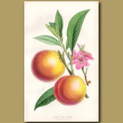 Early York Peach