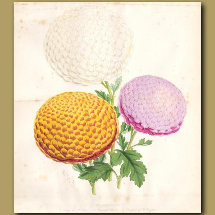 Chrysanthemums: Genuine antique print for sale.