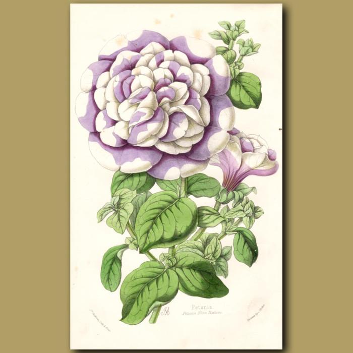 Petunia Eliza Mathieu: Genuine antique print for sale.
