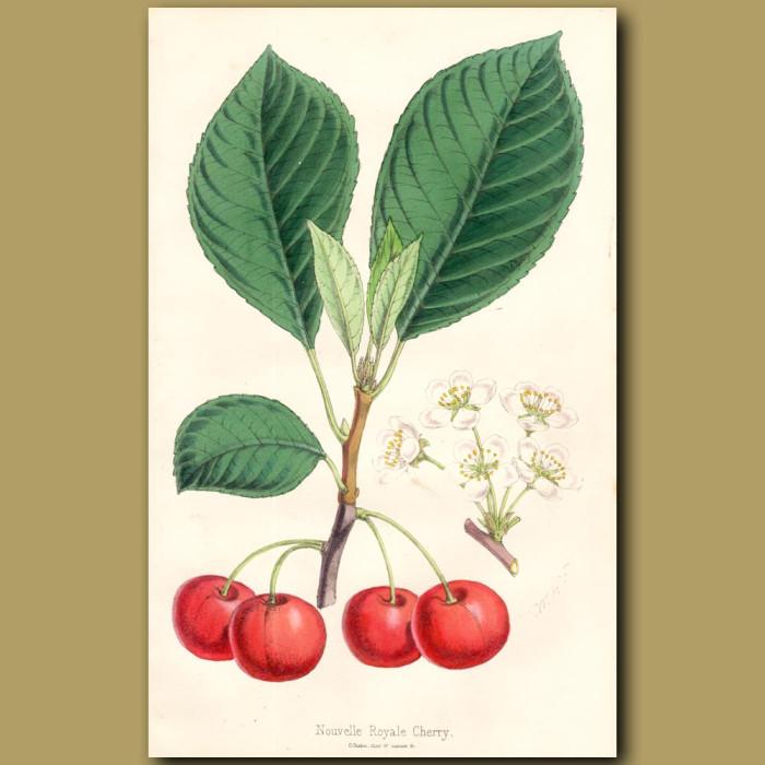 Nouvelle Royale Cherry: Genuine antique print for sale.