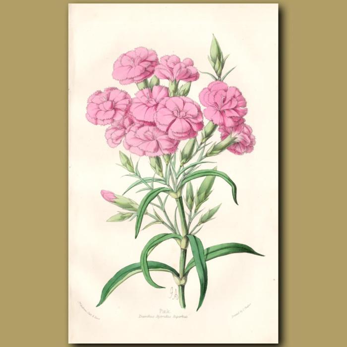 Pink. Dianthus Hybridus Multiflorus: Genuine antique print for sale.