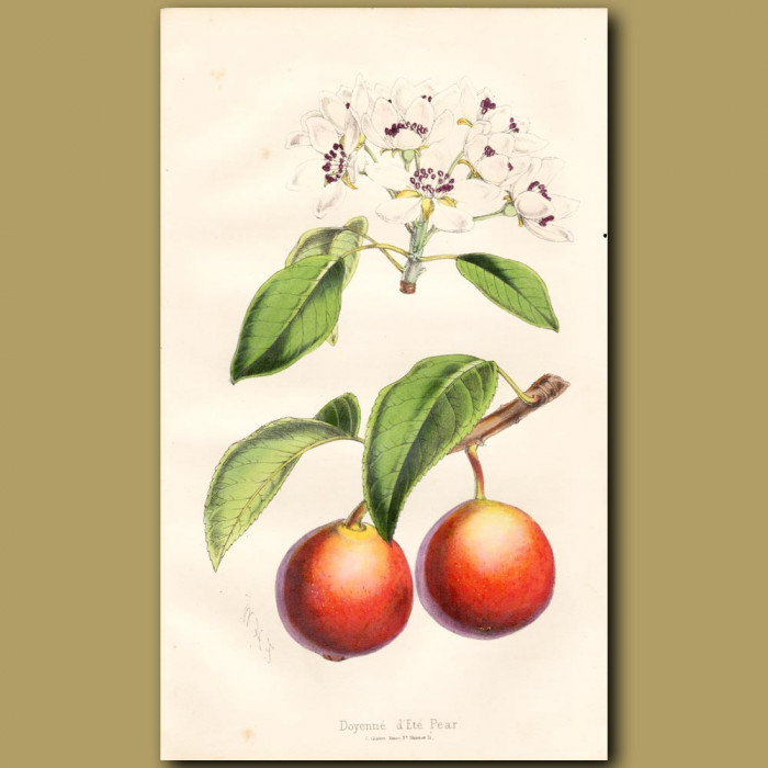 Deyenne D'ete Pear: Genuine antique print for sale.