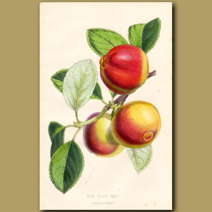 Irish Peach Apple: Genuine antique print for sale.