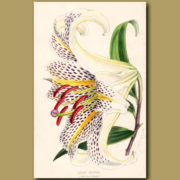 Lilium Auratum: Genuine antique print for sale.