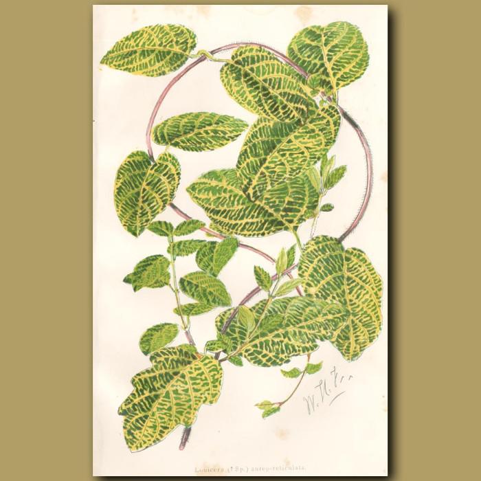 Honeysuckle: Genuine antique print for sale.