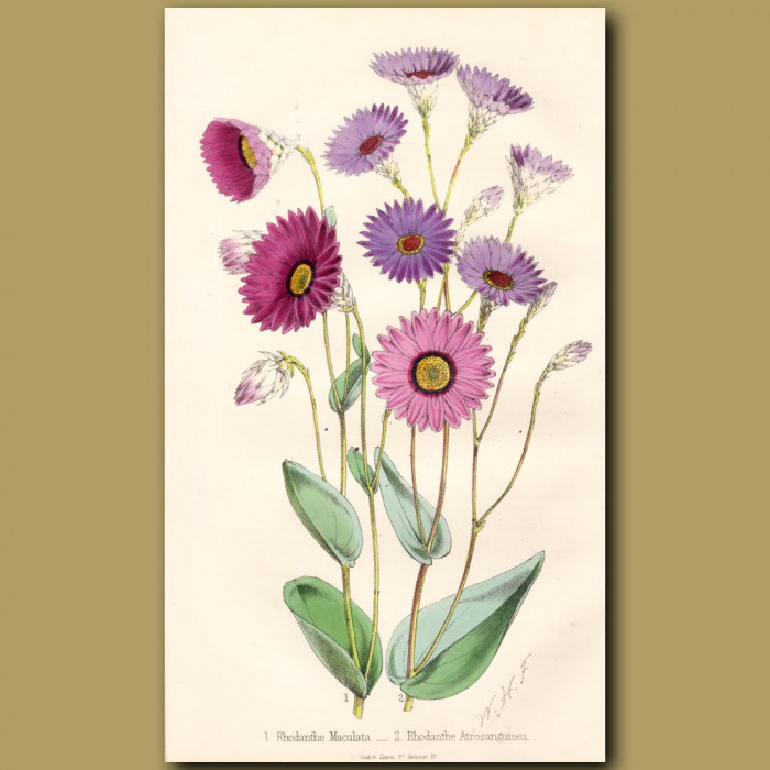 Paper Star Flowers: Genuine antique print for sale.