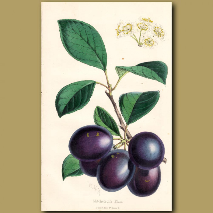 Mitchelson's Plums: Genuine antique print for sale.