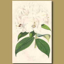 Rhododendron Princess Alice