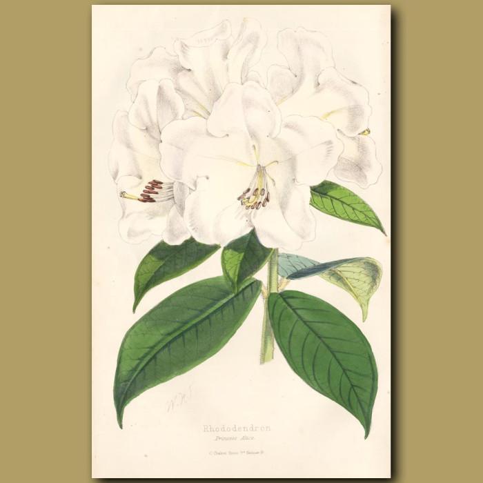 Rhododendron Princess Alice: Genuine antique print for sale.