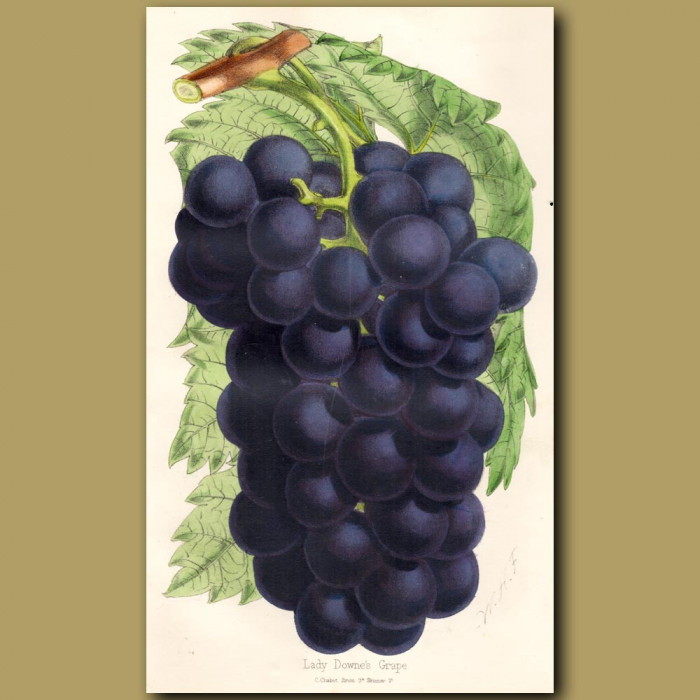 Lady Downe's Grapes: Genuine antique print for sale.
