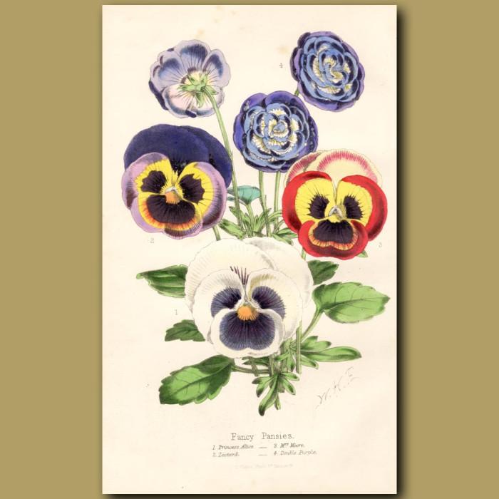 Fancy Pansies: Genuine antique print for sale.