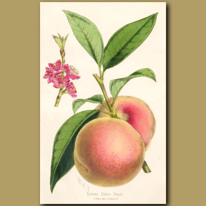 Violette Native Peach: Genuine antique print for sale.
