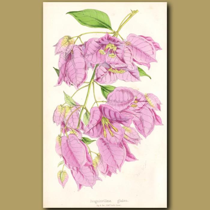 Bougainvillaea Glabra: Genuine antique print for sale.