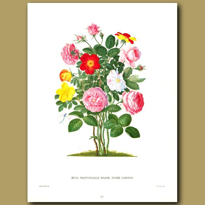 Antique print. Rosa provincialis major, flore carneo