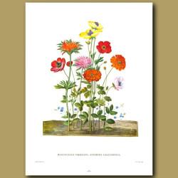 Ranunculus variegata, Anemone calcedonica