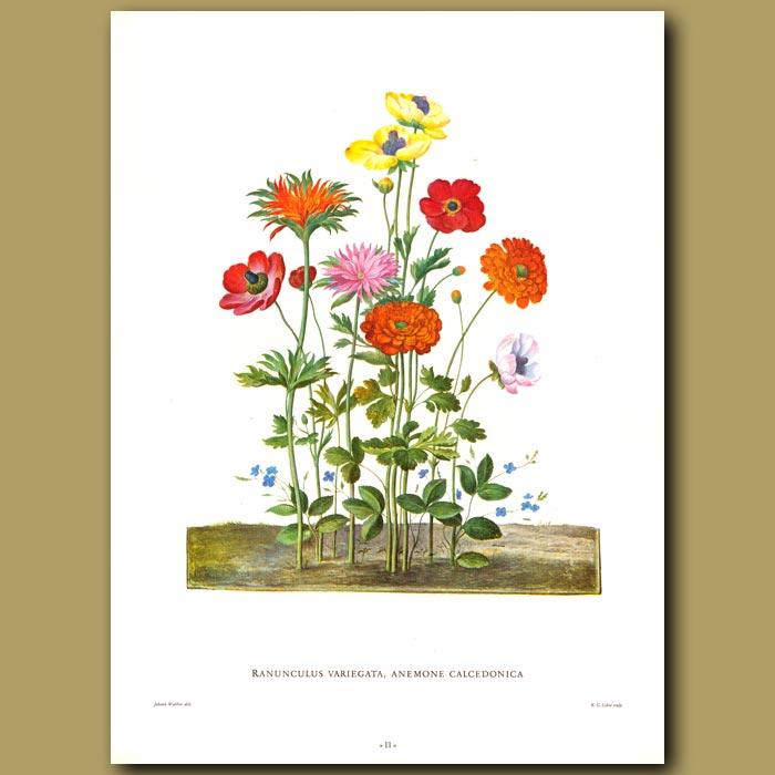 Antique print. Ranunculus variegata, Anemone calcedonica