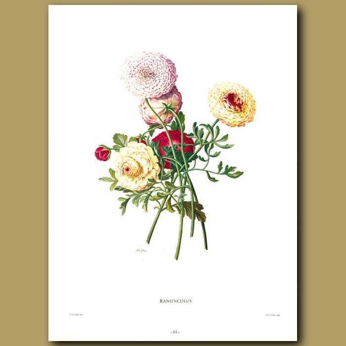 Antique print. Ranunculus
