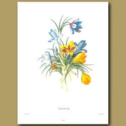 Colchicum (Crocus flowers)