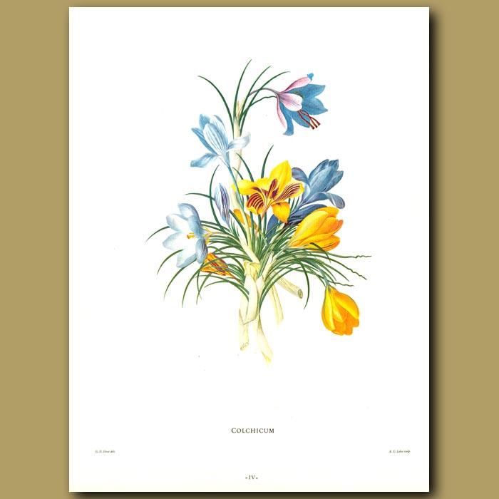 Antique print. Colchicum (Crocus flowers)