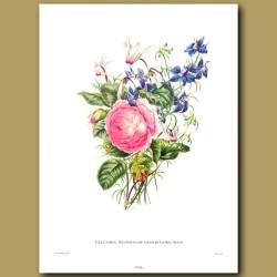 Cyclamen, Delphinium grandiflora, Rosa