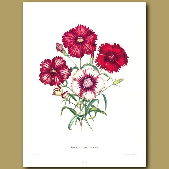 Antique print. Dianthus heddewigi