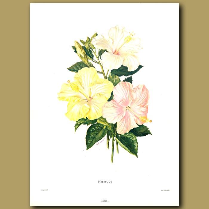 Antique print. Hibiscus