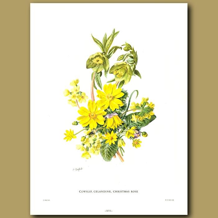 Antique print. Cowslip, Celandine, Christmas Rose