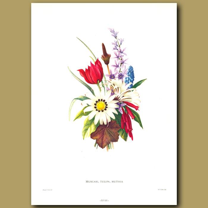 Antique print. Muscari, Tulipa, Mutisia