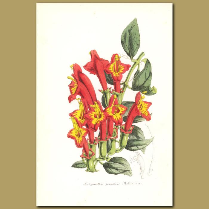 Antique print. Lipstick Plant (Aeschynanthus javanicus)