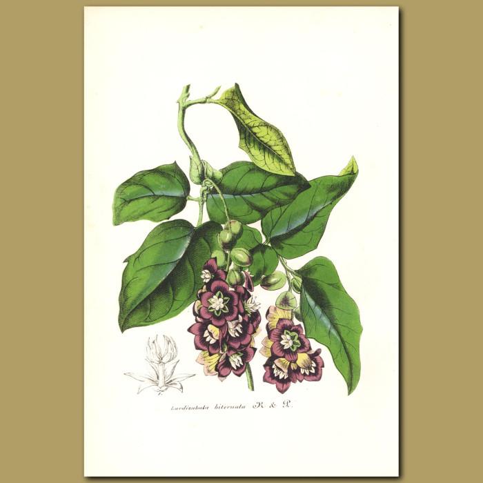 Antique print. Chilean Zabala Fruit (Lardizabala biternata)