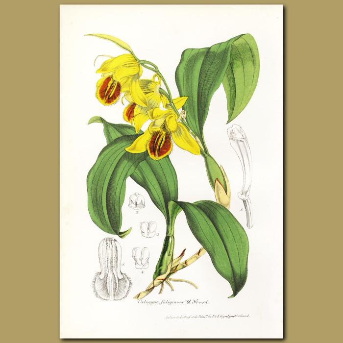 Antique print. The Sooty Coelogyne orchid (Coelogyne fuliginosa)