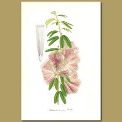 Pink Powderpuff (Callandra brevipes)