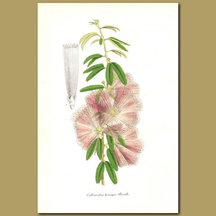 Antique print. Pink Powderpuff (Callandra brevipes)