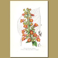 Gesneria seemanni