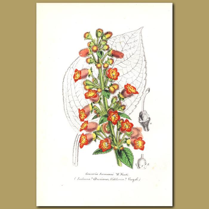 Antique print. Gesneria seemanni
