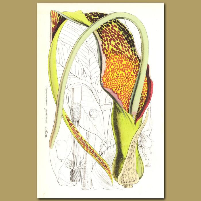 Antique print. Voodoo Lily (Sauromatum guttatum)