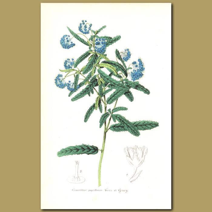 Antique print. Wart Stem California Lilac (Ceanothus papillosus)