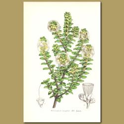 Wood of Life (Metrosideros buxifolia)