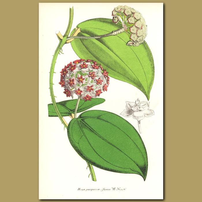 Antique print. Wax Plant (Hoya purpureo-fusca)