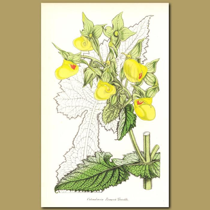 Antique print. Slipper Flower (Calceolaria pavonii)