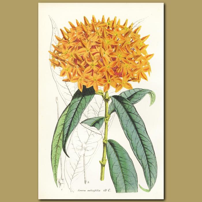 Antique print. Ixora (Ixora salicifolia)