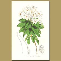 Rhododendron (Rhododendron jasminiflorum)