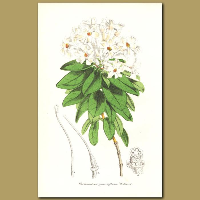 Antique print. Rhododendron (Rhododendron jasminiflorum)