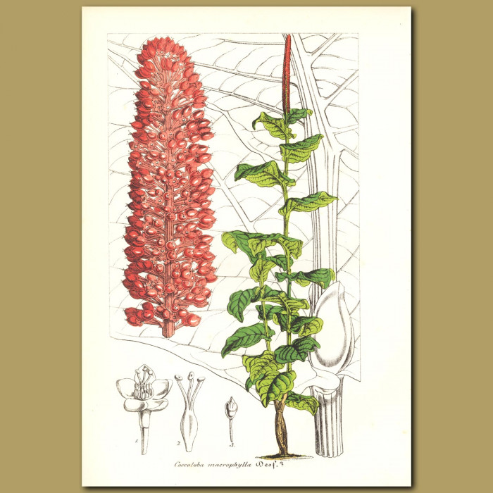Antique print. Coccoloba macrophylla