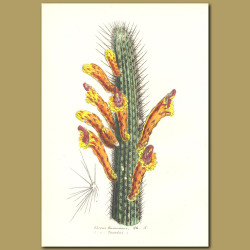Firercracker Cactus (Cereus baumanni)