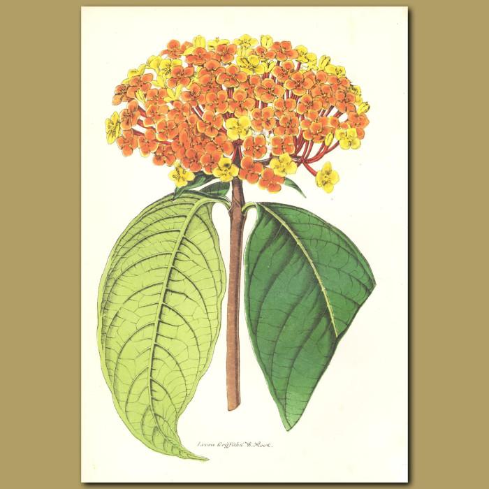 Antique print. Ixora (Ixora griffithii)