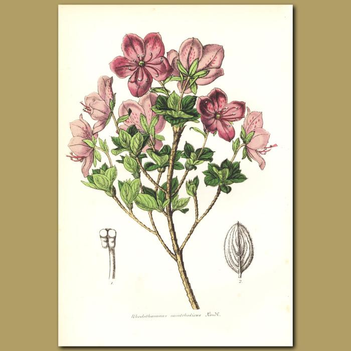 Antique print. Kamchatka Rhodothamnus (Rhodothamnus kamtchaticus)