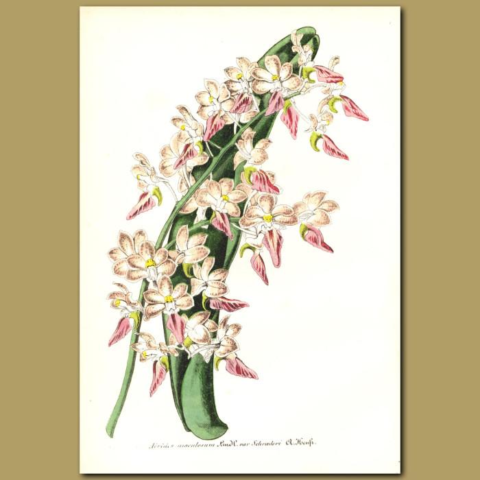 Antique print. Fox Brush Orchid (Aerides maculosum)