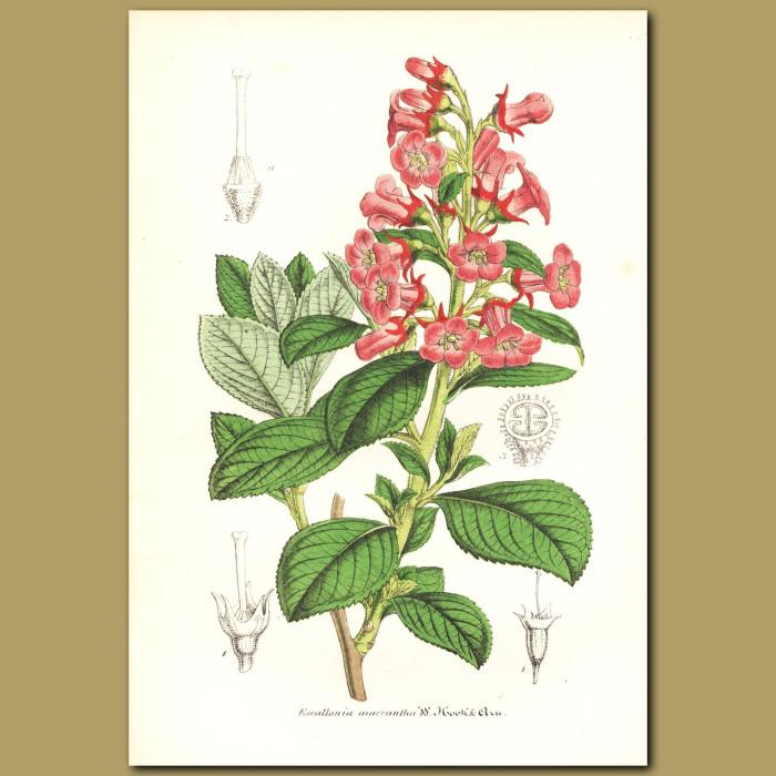 Antique print. Escallonia Hedge (Escallonia macrantha)