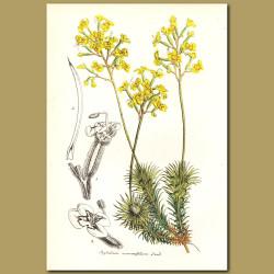 Stylidium mucronifolium